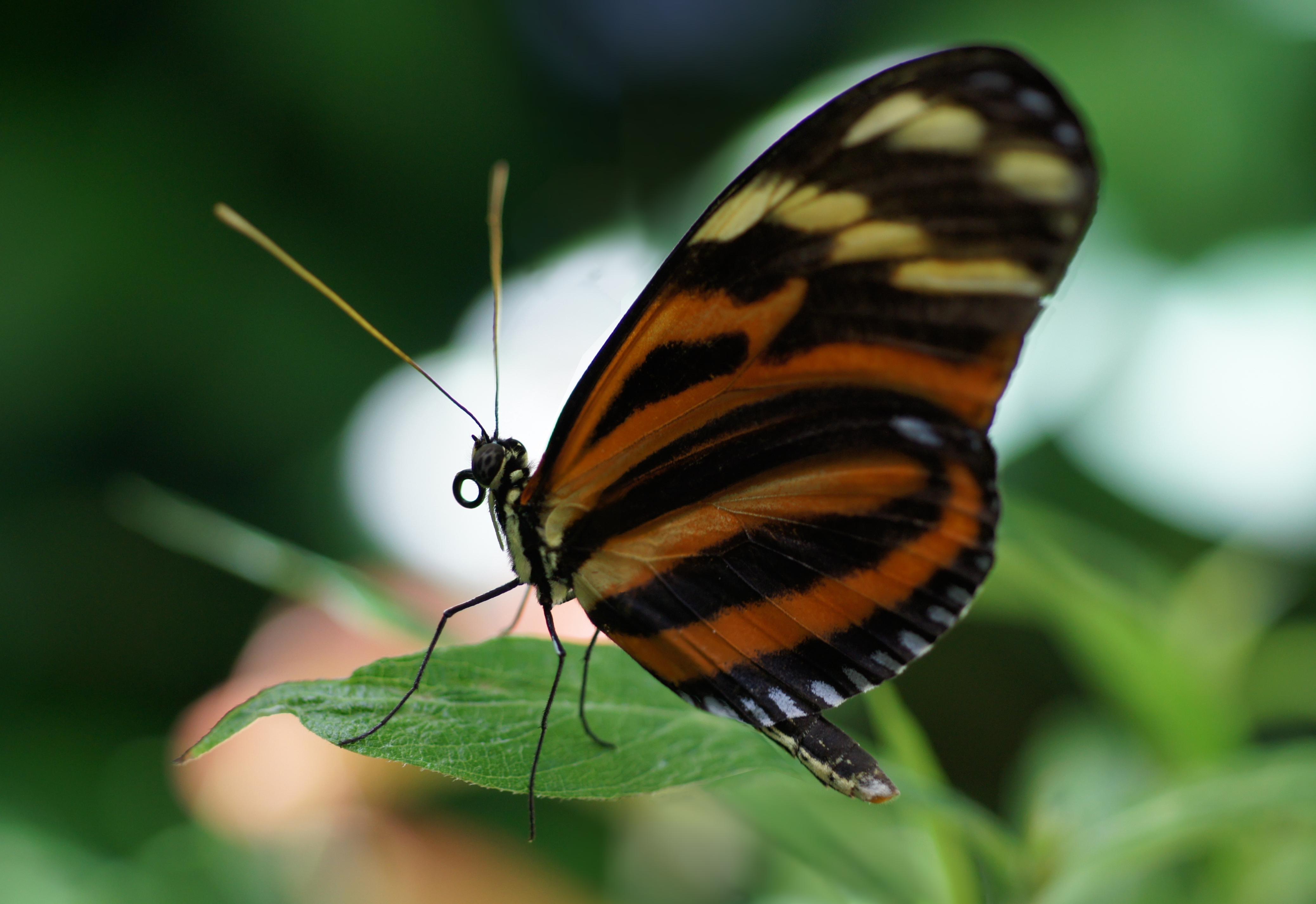 Heliconius Butterflies, Heliconius Butterflies Pictures