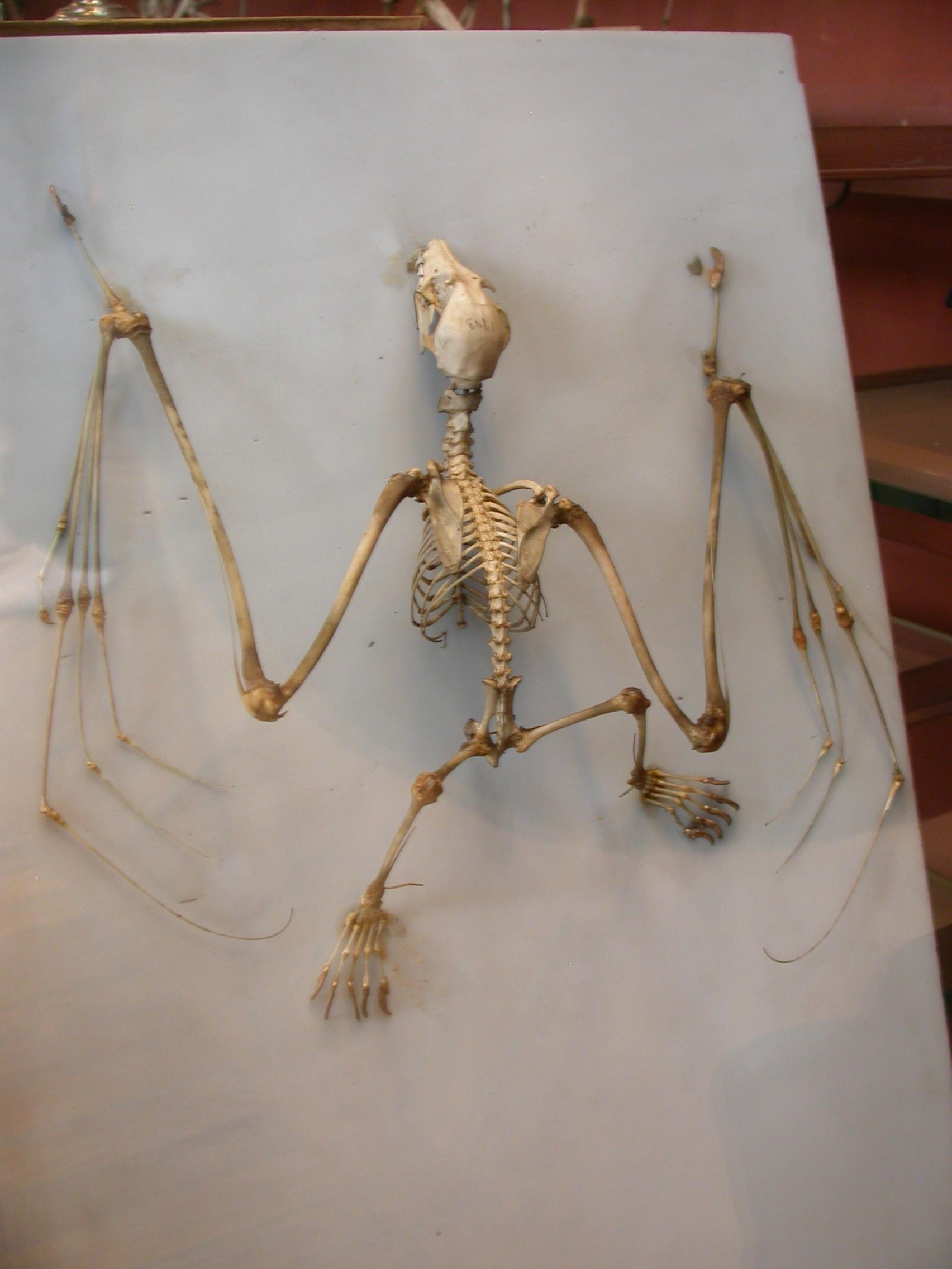 Bat wing skeleton - photo#54